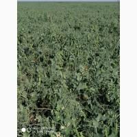 Продам семена зимующего гороха Баллтрап, 2 репродукция