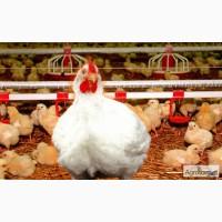 Высококачественный цыпленок бройлер оптом