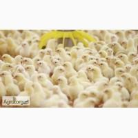 Продам цыплят бройлер. Кобб-500, Росс-708. Производитель