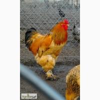 Продажа инкубационных яиц кур породы Брама желто-черны колумбийский окрас
