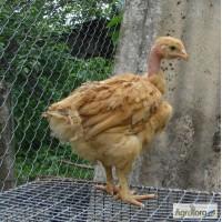 Цыплята испанки, голошейки