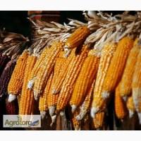 Суха кукурудза в початках / Сухая кукуруза в качанах