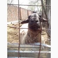 Продажа овец, баранов. Порода Прекос, Суффолк. Львовская обл