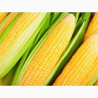 Продам семена кукурузы Марсель, ФАО 260