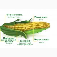 2017 рік Насіння кукурудзи Ізяслав 220 МВ (Маїс) ФАО 220 Кукуруза Маис