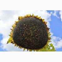 Акционное предложение на семена подсолнечника