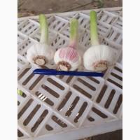 Продам чеснок из Ирана 1-ый сорт