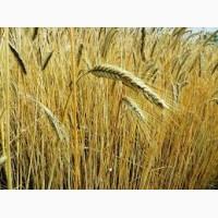 Купим ОПТОМ Пшеницу.(Продовольственную)