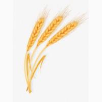 Закупівля пшениці. Великий гурт