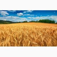 Куплю Пшеницу фура