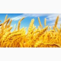 Покупаем фуражную пшеницу, в больших количествах