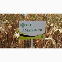 Семена кукурузы Амарок 290 (ФАО 320) напрямую от ВНИС