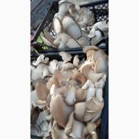 Продам грибы Вешенка, штамм к -17