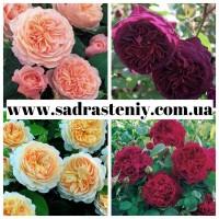 Новые сорта роз в ассортименте. Питомник Сад растений