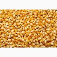 Куплю кукурудзу у великих об#039;ємах