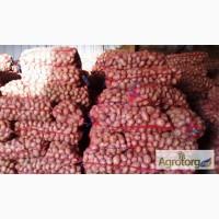 Картофель сортов Сифра и Ред Леди фр. 6+ оптом от прямого поставщика