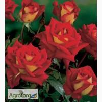 Саженцы роз Клеопатра