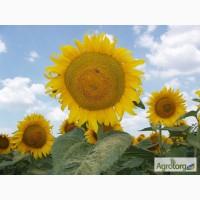 Продам насіння соняшнику Рембо від оригінатора і виробника