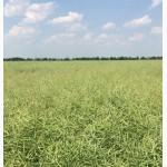 Семена рапса, устойчивого к раундапу - Клеопатра