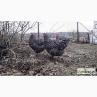 Инкубационное яйцо курицы Мехеленская Кукушка