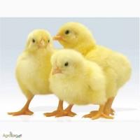 Купуйте курчата бройлери