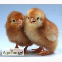 Цыплята Фокси-Чик