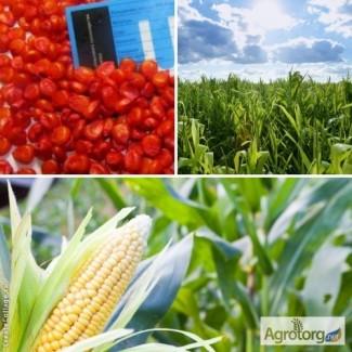 Посівний матеріал кукурудзи Амарок