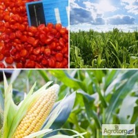 Посівний матеріал кукурудзи Амарок 290
