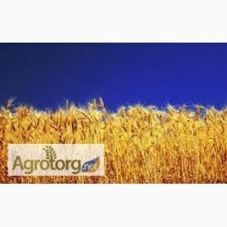 Купуємо пшеницю класову