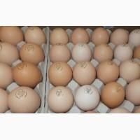 Мастер Грей, купить яйцо для инкубации Винница