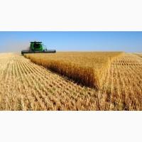 Підприємство купляє пшеницю 2, 3, 6 класу, ціна висока