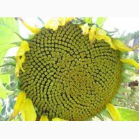 Семена подсолнечника Агат (Франция) устойчивые к заразихе