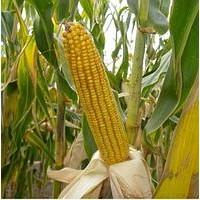 Семена кукурузы Нертус НС-2922 ФАО (240-250) м. Нові Сад (Сербия)