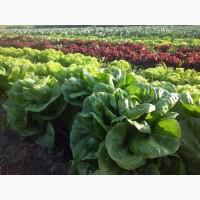 Продам салат и зелень