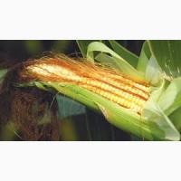 Куплю кукурудзу ГОСТ (ДСТУ)