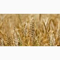 Крупнооптова закупівля пшениці