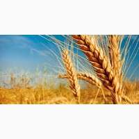 Производим закупку фуражной пшеницы