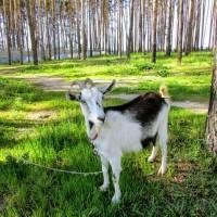 Продаются козы (небольшая ферма)