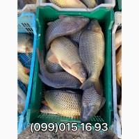Продам живую рыбу!! Карп, карась, толстолоб