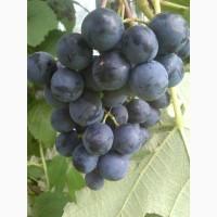 Продам сажданці винограду ранніх і надранніх сортів, адаптованих