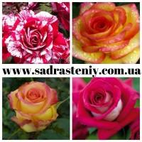 Саженцы роз высокого качества. Открыт прием на предзаказ ОСЕНЬ 2021