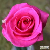 Саженцы роз Равель