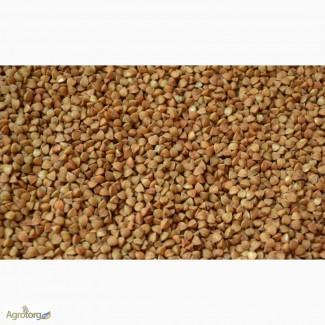 Семена гречихи: сорт Антария, элита / 1 репродукция