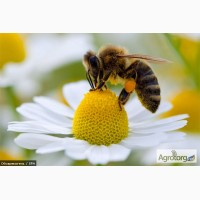Бджолопакети продам