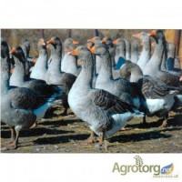 Продаємо гусей породи Велика сіра