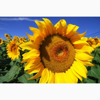 Продам високоврожайний соняшник Армагедон під Євро-Лайтнінг
