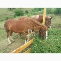 Продам кобилу ваговоза; Продається кобила