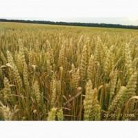 Пшеница озимая Балатон селекция Пробцтдорфер Заатцухт (Австрия)