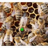Плідні Матки Карпатки 2019 р. Пчеломатки Бджоломатки Бджолині матки F1