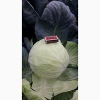 Продам капусту синию, белокочаную и квашеную от Беларусского поставщика